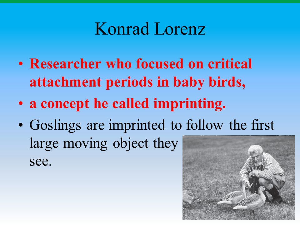 Konrad Lorenz Researcher who focused on critical attachment periods in baby birds, a concept he called imprinting. Goslings are imprinted to follow th