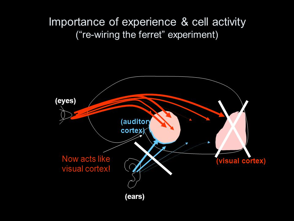 "Importance of experience & cell activity (""re-wiring the ferret"" experiment) (eyes) (ears) (auditory cortex) (visual cortex) Now acts like visual cort"
