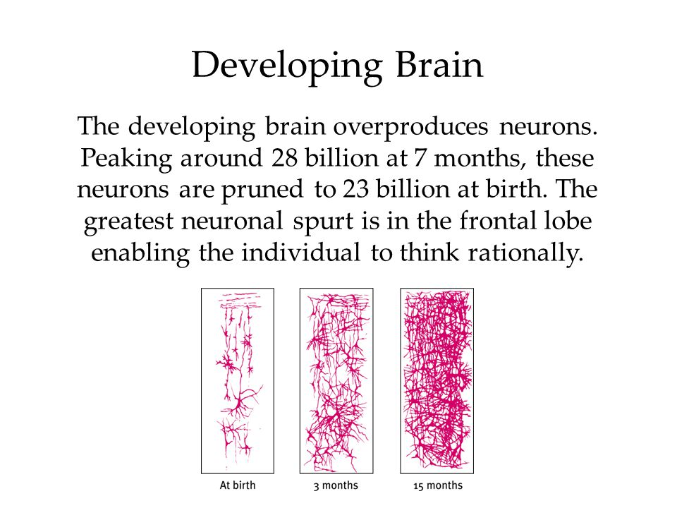 Developing Brain The developing brain overproduces neurons.