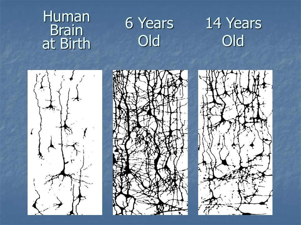 Human Brain at Birth 6 Years Old 14 Years Old