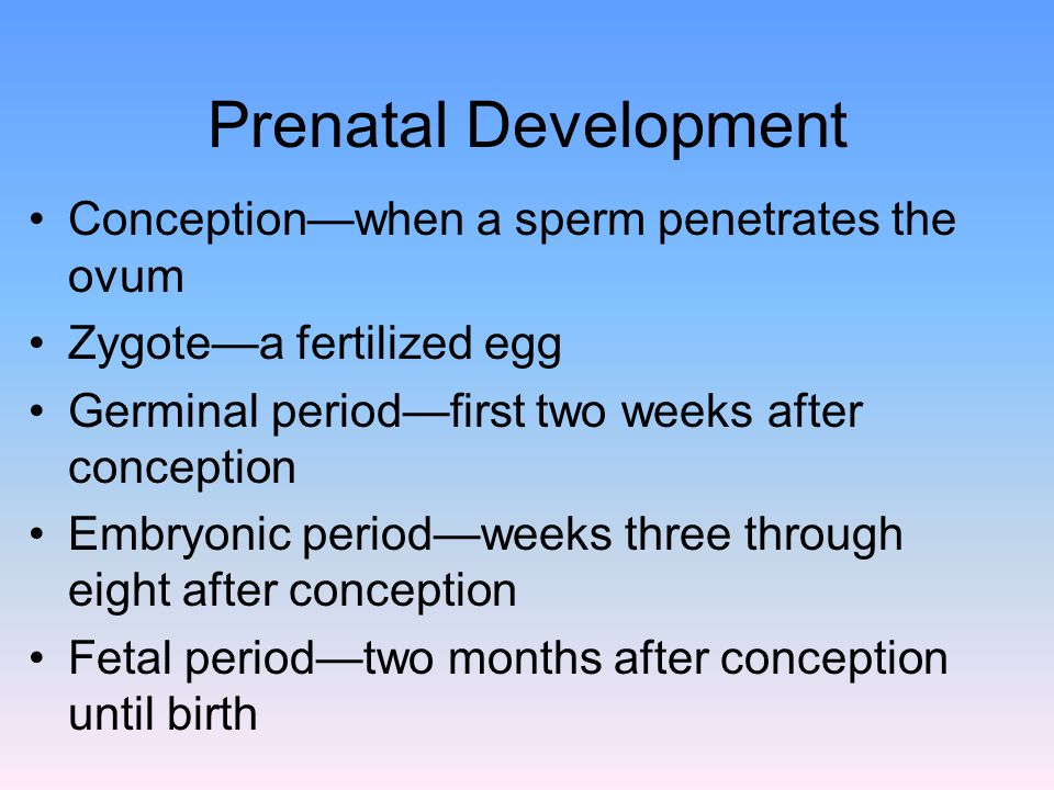 Prenatal Development Conception—when a sperm penetrates the ovum Zygote—a fertilized egg Germinal period—first two weeks after conception Embryonic period—weeks three through eight after conception Fetal period—two months after conception until birth