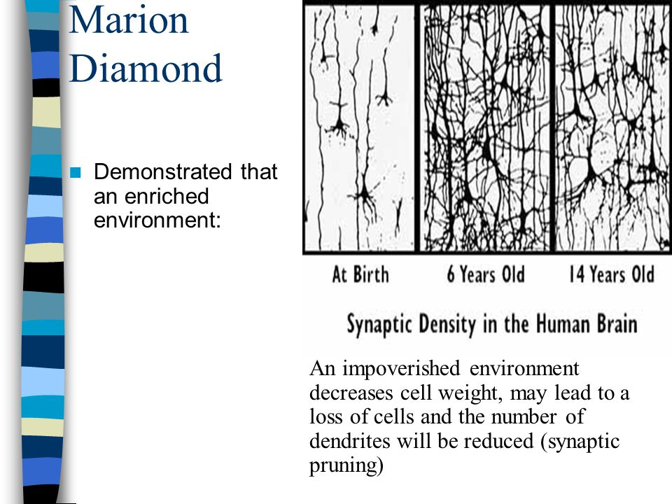 Marion Diamond Demonstrated that an enriched environment: An impoverished environment decreases cell weight, may lead to a loss of cells and the number of dendrites will be reduced (synaptic pruning)