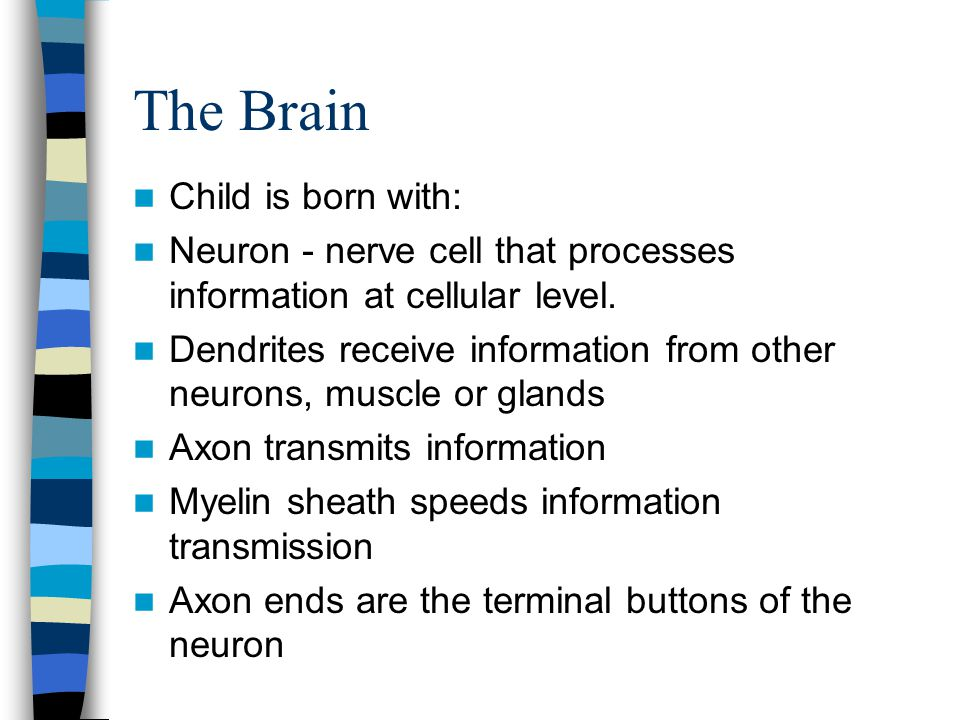 The Brain Child is born with: Neuron - nerve cell that processes information at cellular level.