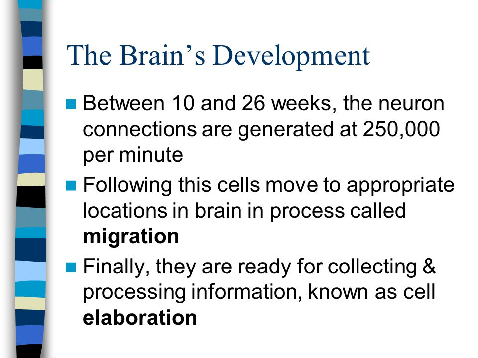 The Brain's Development Between 10 and 26 weeks, the neuron connections are generated at 250,000 per minute Following this cells move to appropriate locations in brain in process called migration Finally, they are ready for collecting & processing information, known as cell elaboration
