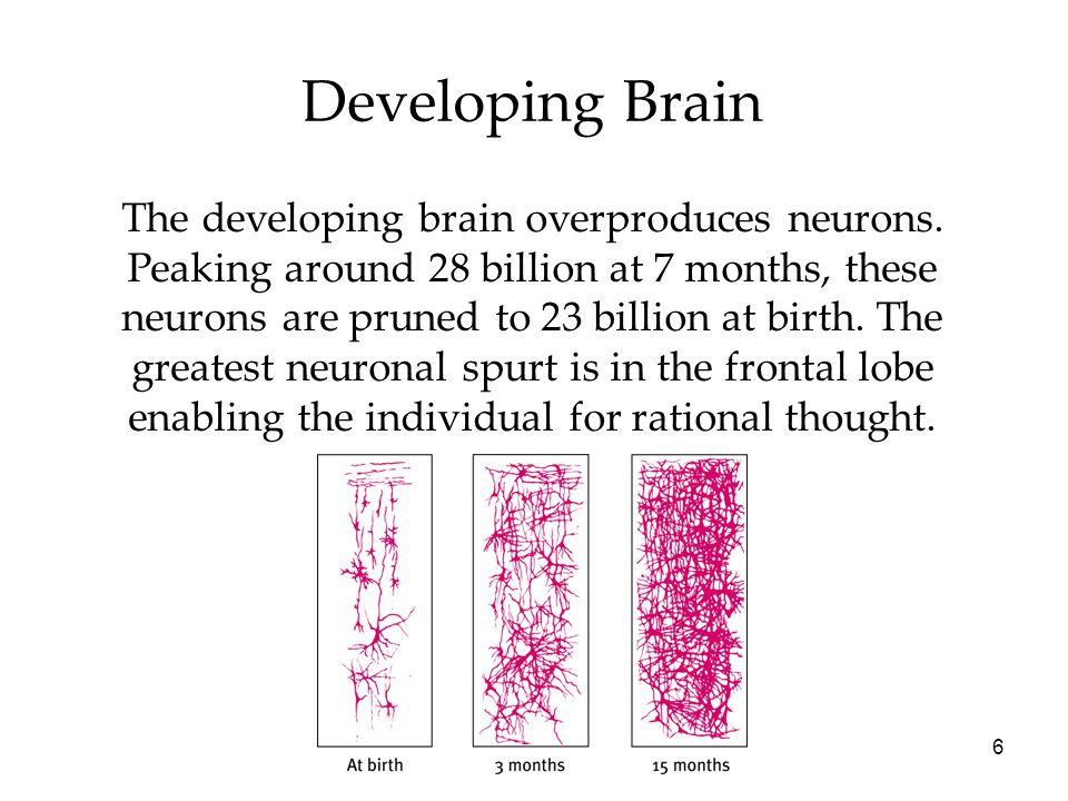 6 Developing Brain The developing brain overproduces neurons.