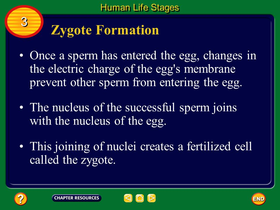 Human Growth & Development With the development of the cell theory in the 1800s, scientists recognized that a human develops from an egg that has been fertilized by a sperm.
