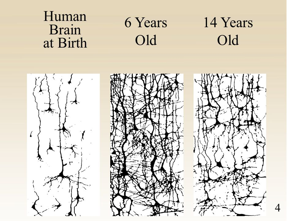 Human Brain Development Human Brain Development Synapse Formation Dependent on Early Experiences FIRST YEAR -8 -7 -6 -5 -4 -3 -2 -1 1 2 3 4 5 6 7 8 9 10 11 1 2 3 4 5 6 7 8 9 10 11 12 13 14 15 16 17 18 19 Birth(Months)(Years) Sensory Pathways (Vision, Hearing) Language Higher Cognitive Function Source: C.