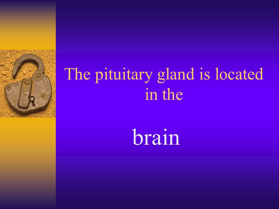 The pituitary gland is located in the brain