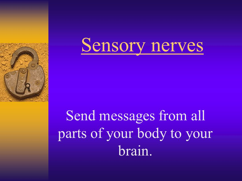 Sensory nerves Send messages from all parts of your body to your brain.