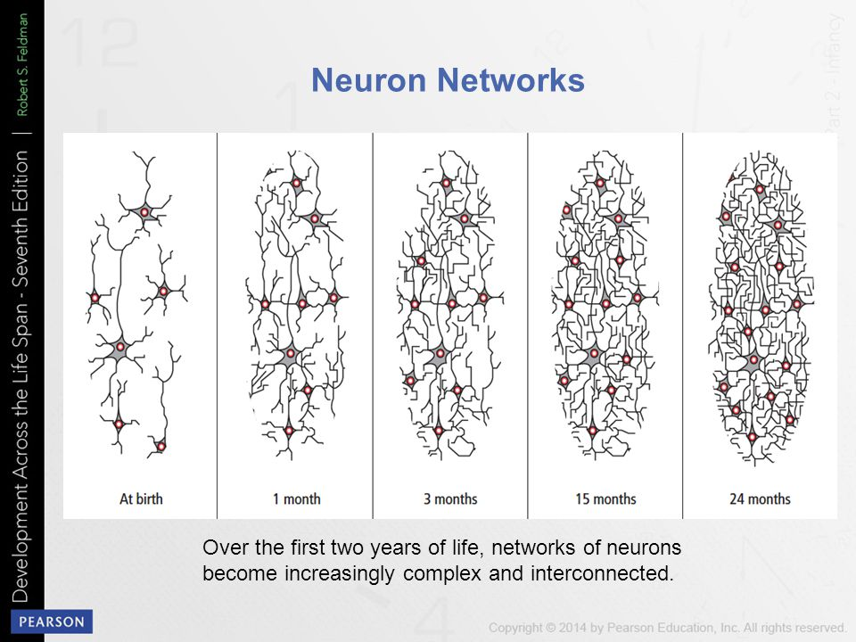 Neuron Networks Over the first two years of life, networks of neurons become increasingly complex and interconnected.