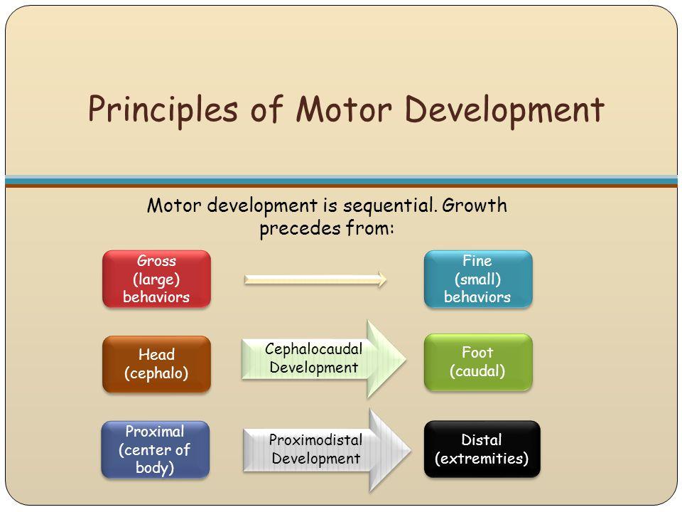 Principles of Motor Development Gross (large) behaviors Foot (caudal) Foot (caudal) Proximal (center of body) Proximal (center of body) Distal (extrem