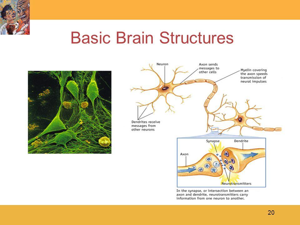 20 Basic Brain Structures