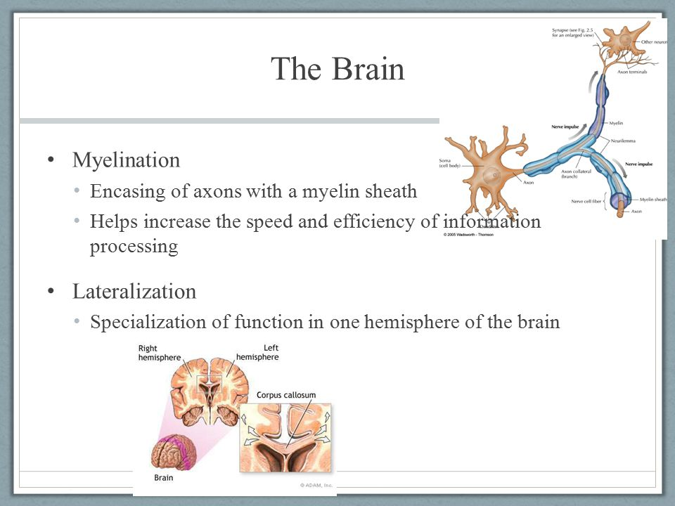 The Brain Myelination Encasing of axons with a myelin sheath Helps increase the speed and efficiency of information processing Lateralization Speciali