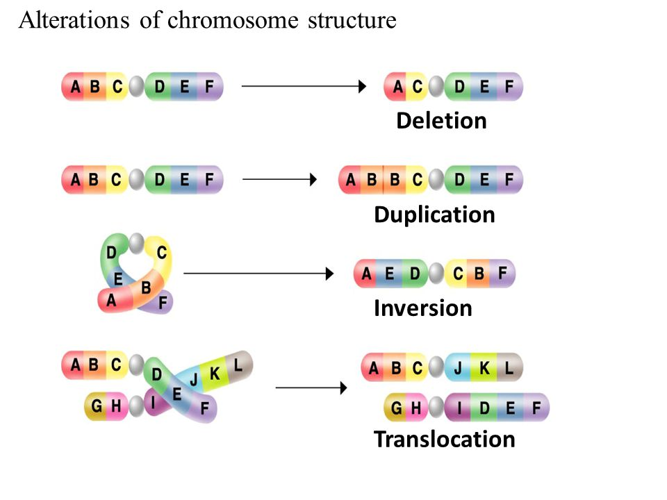 Alterations of chromosome structure Deletion Duplication Deletion Duplication Inversion Deletion Duplication Inversion Translocation