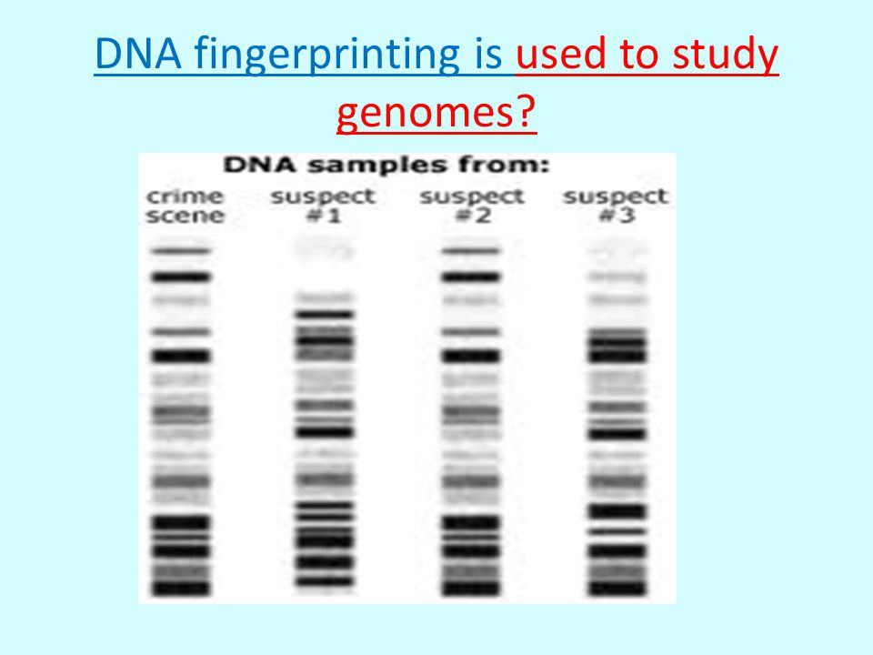 DNA fingerprinting is used to study genomes?