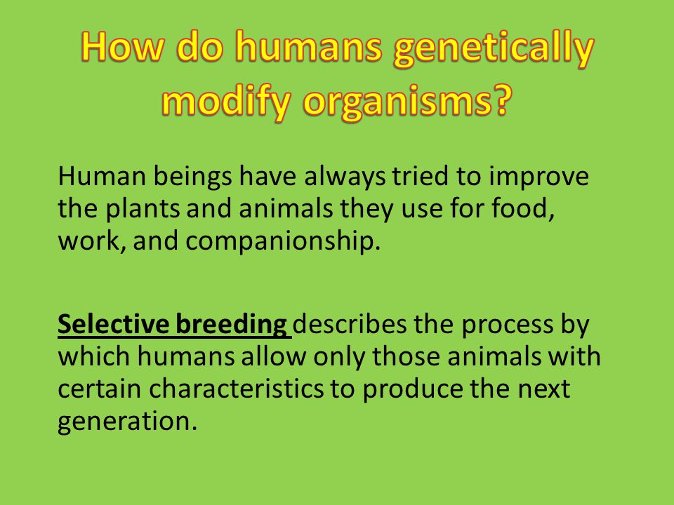 Human beings have always tried to improve the plants and animals they use for food, work, and companionship. Selective breeding describes the process