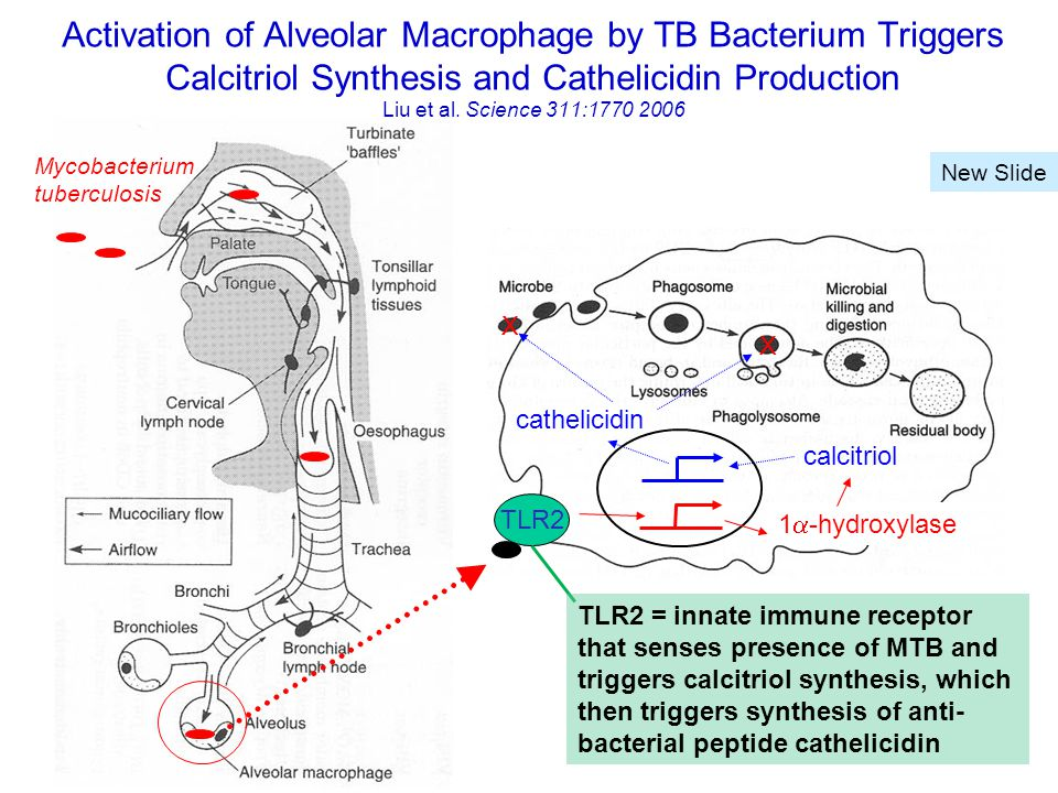 1  -hydroxylase calcitriol cathelicidin TLR2 X X Mycobacterium tuberculosis Activation of Alveolar Macrophage by TB Bacterium Triggers Calcitriol Synthesis and Cathelicidin Production Liu et al.