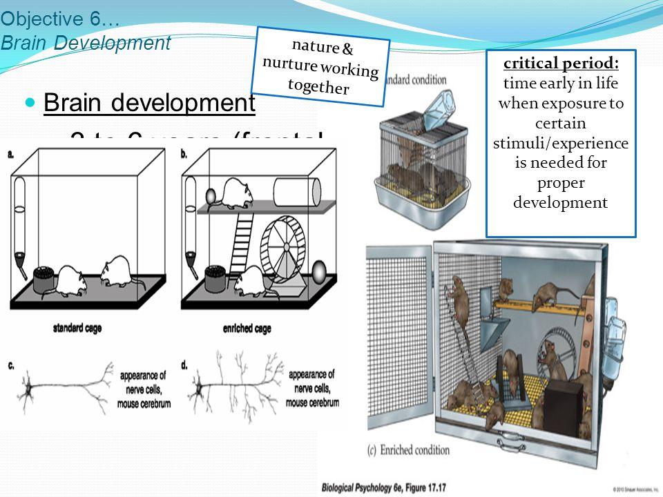 Objective 6… Brain Development Brain development 3 to 6 years (frontal lobe) Association Areas – last to develop Pruning process happens in teen years