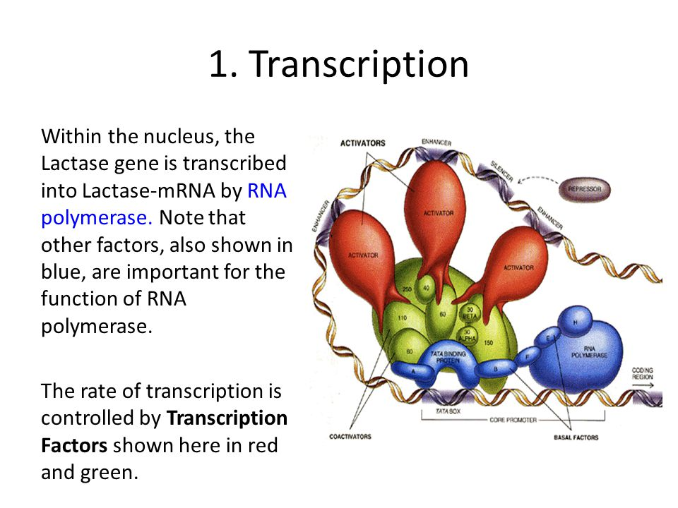 1. Transcription Within the nucleus, the Lactase gene is transcribed into Lactase-mRNA by RNA polymerase. Note that other factors, also shown in blue,