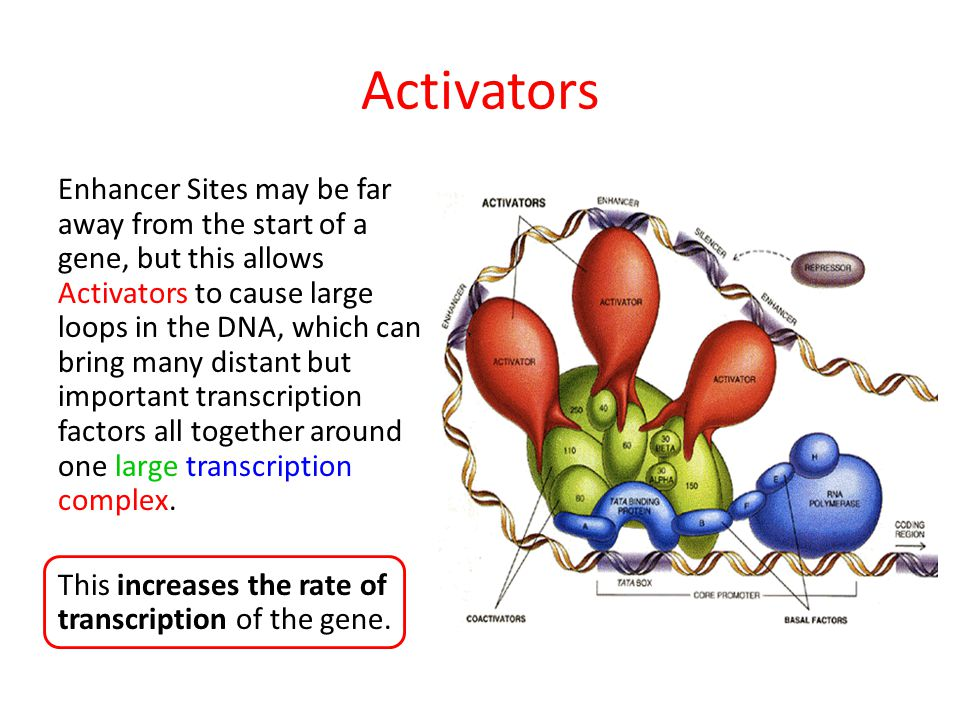 Activators Enhancer Sites may be far away from the start of a gene, but this allows Activators to cause large loops in the DNA, which can bring many d