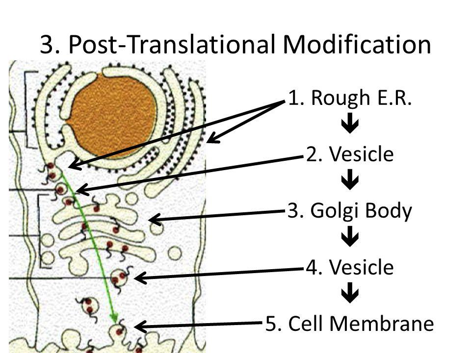 3.Post-Translational Modification 1. Rough E.R.  2.
