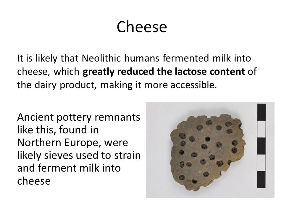 Cheese It is likely that Neolithic humans fermented milk into cheese, which greatly reduced the lactose content of the dairy product, making it more a