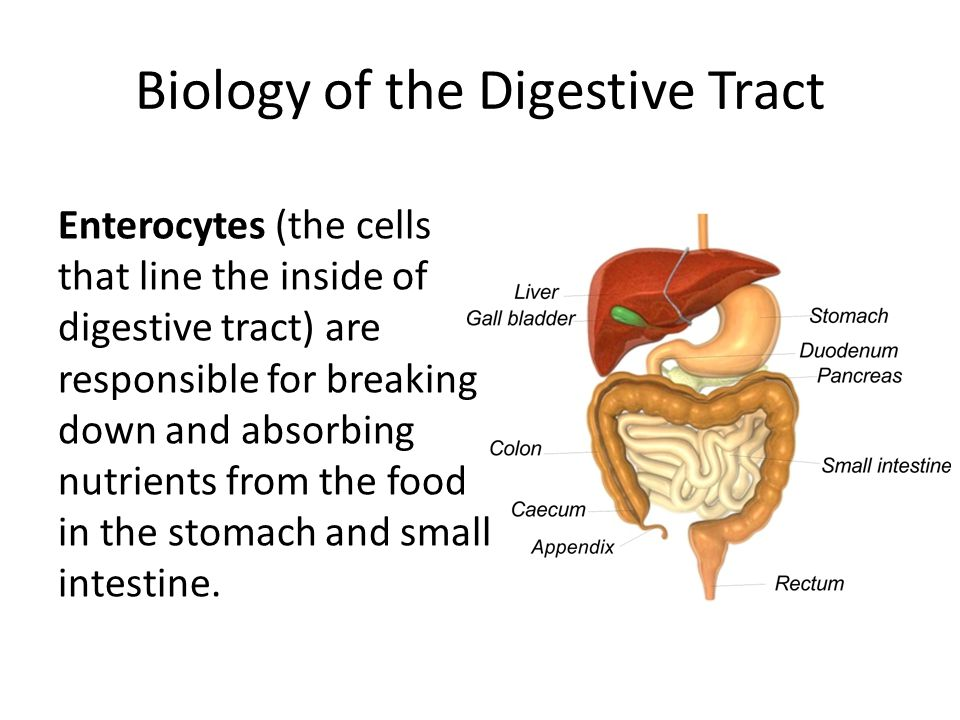 Biology of the Digestive Tract Enterocytes (the cells that line the inside of digestive tract) are responsible for breaking down and absorbing nutrien