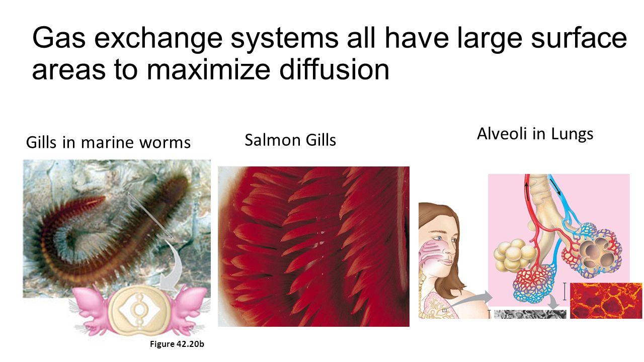 Gas exchange systems all have large surface areas to maximize diffusion Figure 42.20b Gills in marine worms Salmon Gills Alveoli in Lungs