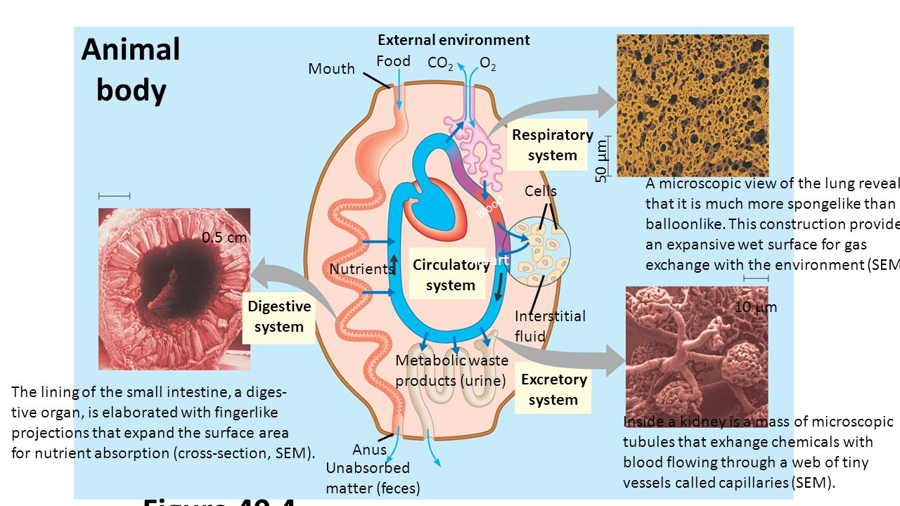 External environment Food CO 2 O2O2 Mouth Animal body Respiratory system Circulatory system Nutrients Excretory system Digestive system Heart Blood Cells Interstitial fluid Anus Unabsorbed matter (feces) Metabolic waste products (urine) The lining of the small intestine, a diges- tive organ, is elaborated with fingerlike projections that expand the surface area for nutrient absorption (cross-section, SEM).