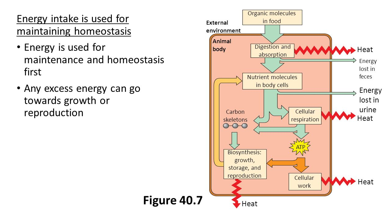 Energy intake is used for maintaining homeostasis Energy is used for maintenance and homeostasis first Any excess energy can go towards growth or reproduction Figure 40.7 Organic molecules in food Digestion and absorption Nutrient molecules in body cells Cellular respiration Biosynthesis: growth, storage, and reproduction Cellular work Heat Energy lost in feces Energy lost in urine Heat External environment Animal body Heat Carbon skeletons ATP