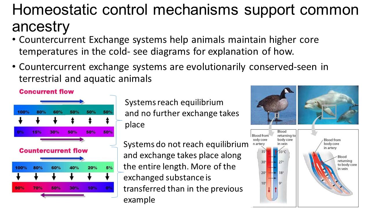 Homeostatic control mechanisms support common ancestry Systems reach equilibrium and no further exchange takes place Systems do not reach equilibrium and exchange takes place along the entire length.