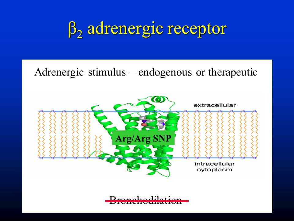 β 2 adrenergic receptor Adrenergic stimulus – endogenous or therapeutic Bronchodilation Arg/Arg SNP