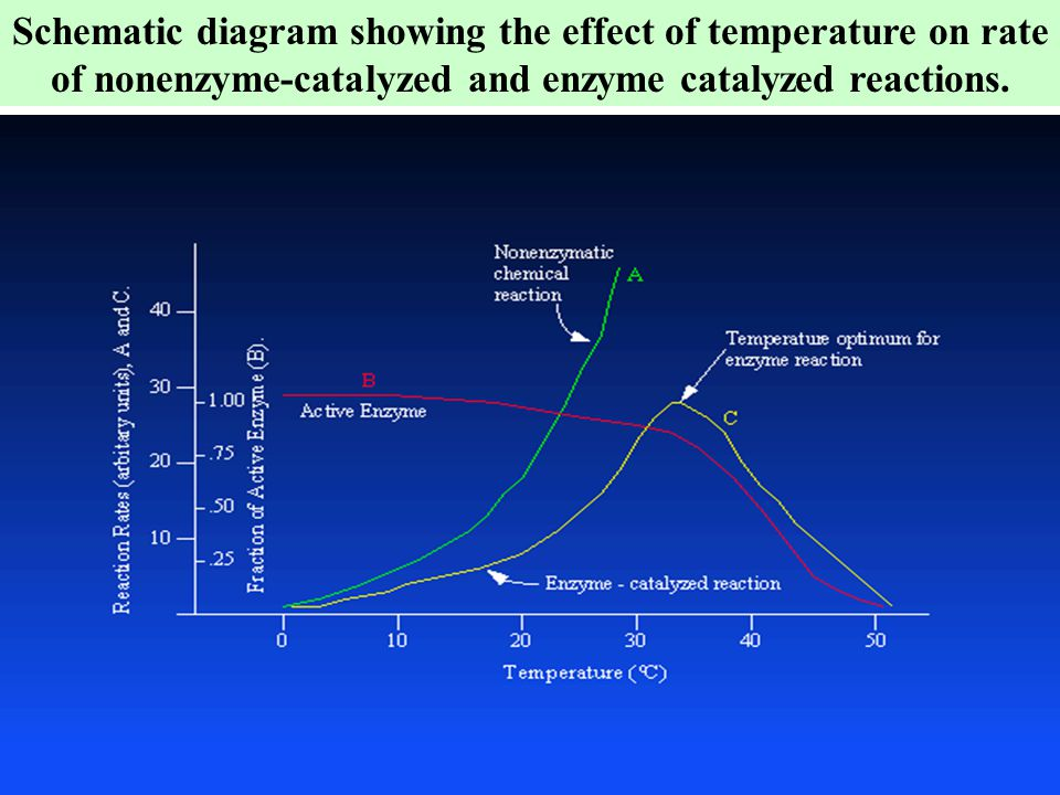 Schematic diagram showing the effect of temperature on rate of nonenzyme-catalyzed and enzyme catalyzed reactions.