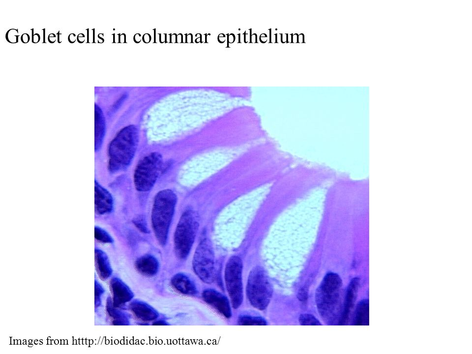Goblet cells in columnar epithelium Images from htttp://biodidac.bio.uottawa.ca/