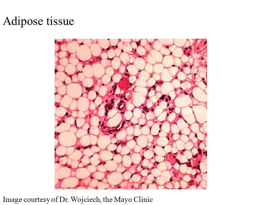 Adipose tissue Image courtesy of Dr. Wojciech, the Mayo Clinic