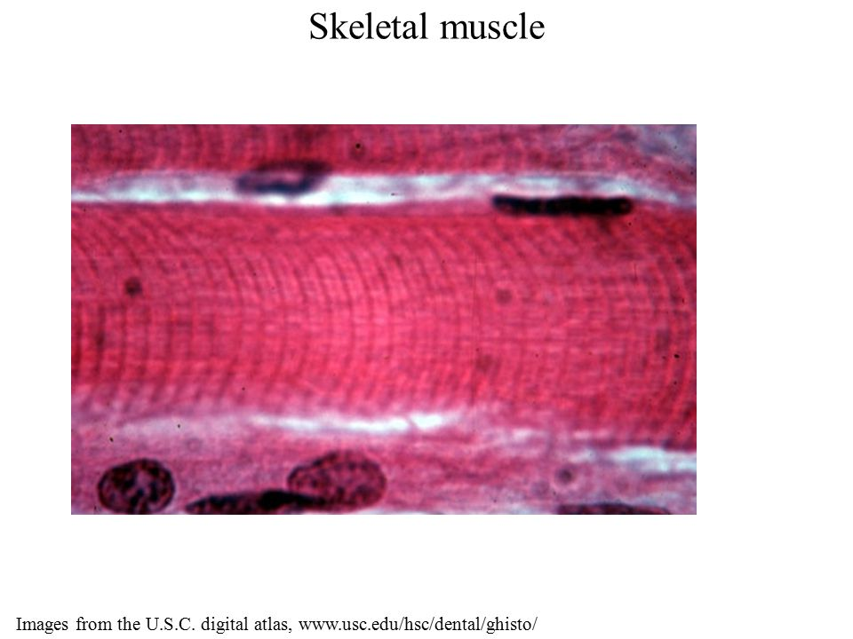 Skeletal muscle Images from the U.S.C. digital atlas, www.usc.edu/hsc/dental/ghisto/