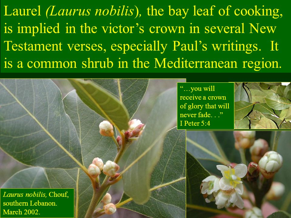 Laurel (Laurus nobilis), the bay leaf of cooking, is implied in the victor's crown in several New Testament verses, especially Paul's writings. It is