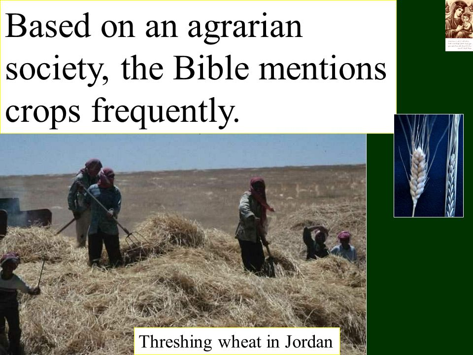 Based on an agrarian society, the Bible mentions crops frequently. Threshing wheat in Jordan