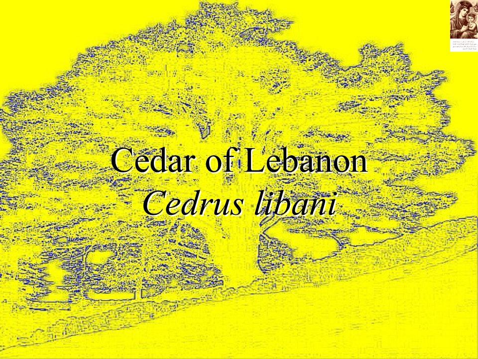 Cedar of Lebanon Cedrus libani Cedar of Lebanon Cedrus libani