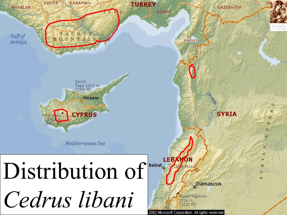 Distribution of Cedrus libani