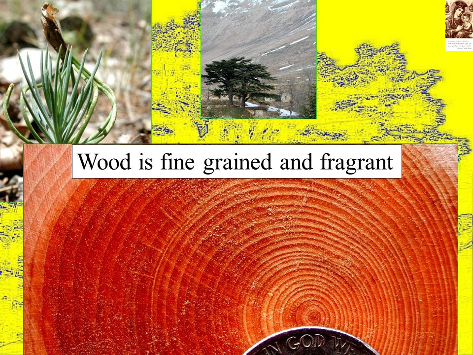 Wood is fine grained and fragrant