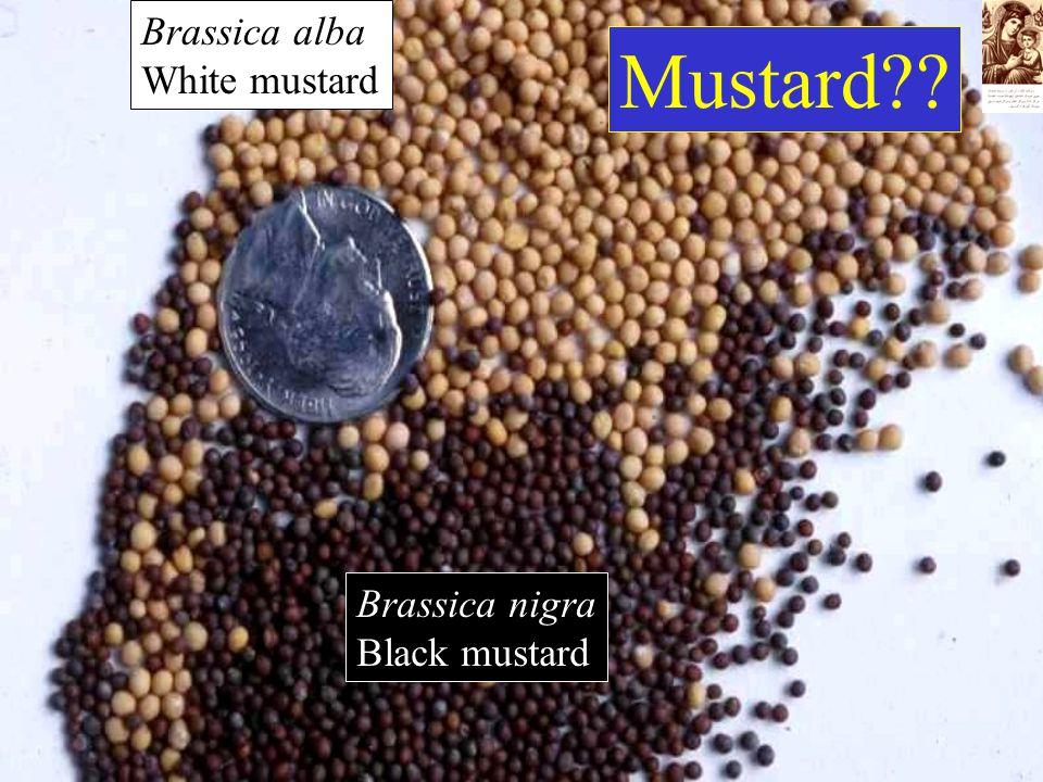 Brassica nigra Black mustard Brassica alba White mustard Mustard