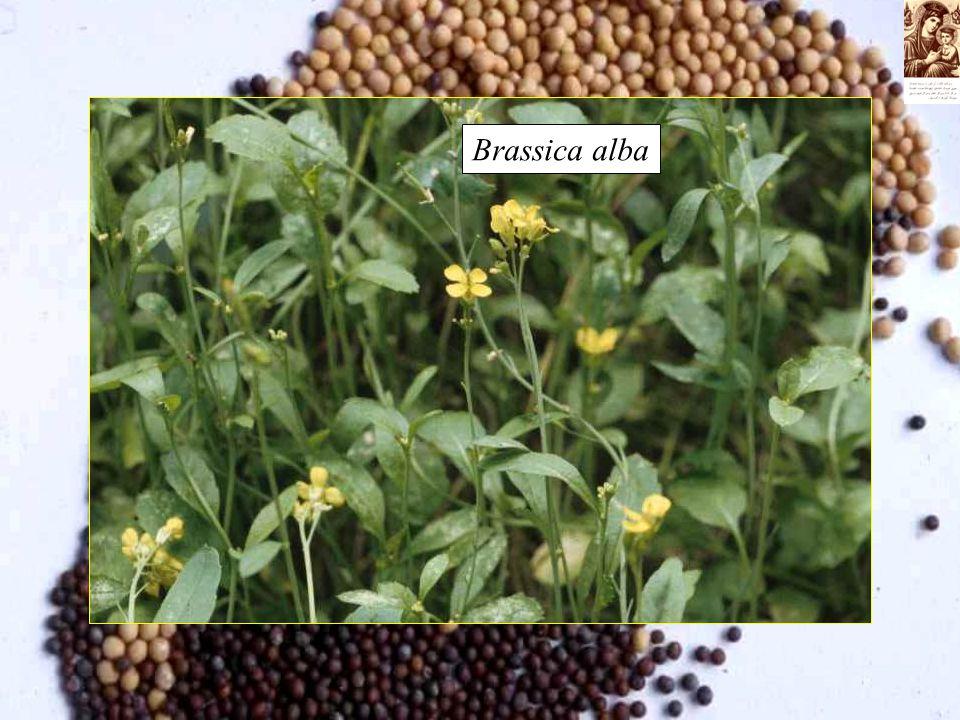 Brassica alba