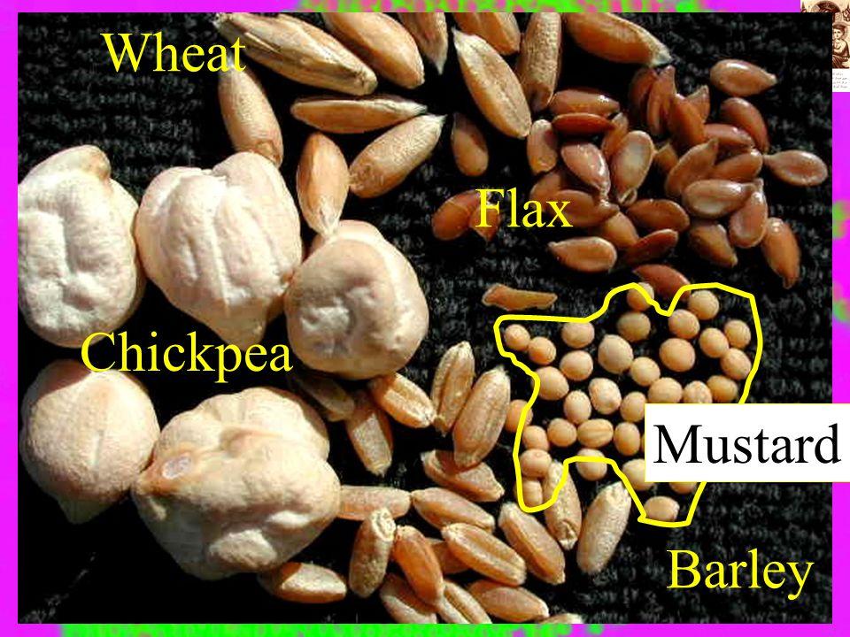 Wheat Chickpea Barley Flax Mustard