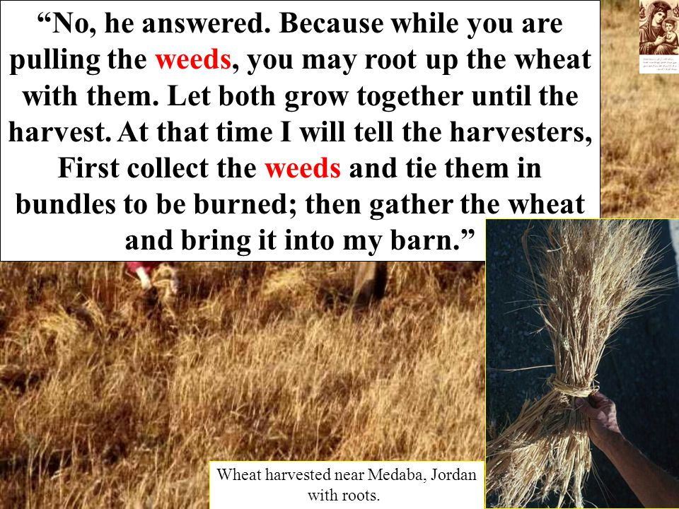 """No, he answered. Because while you are pulling the weeds, you may root up the wheat with them. Let both grow together until the harvest. At that time"