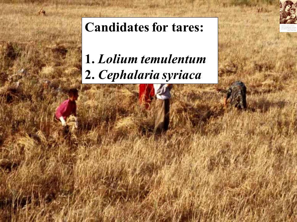 Candidates for tares: 1. Lolium temulentum 2. Cephalaria syriaca