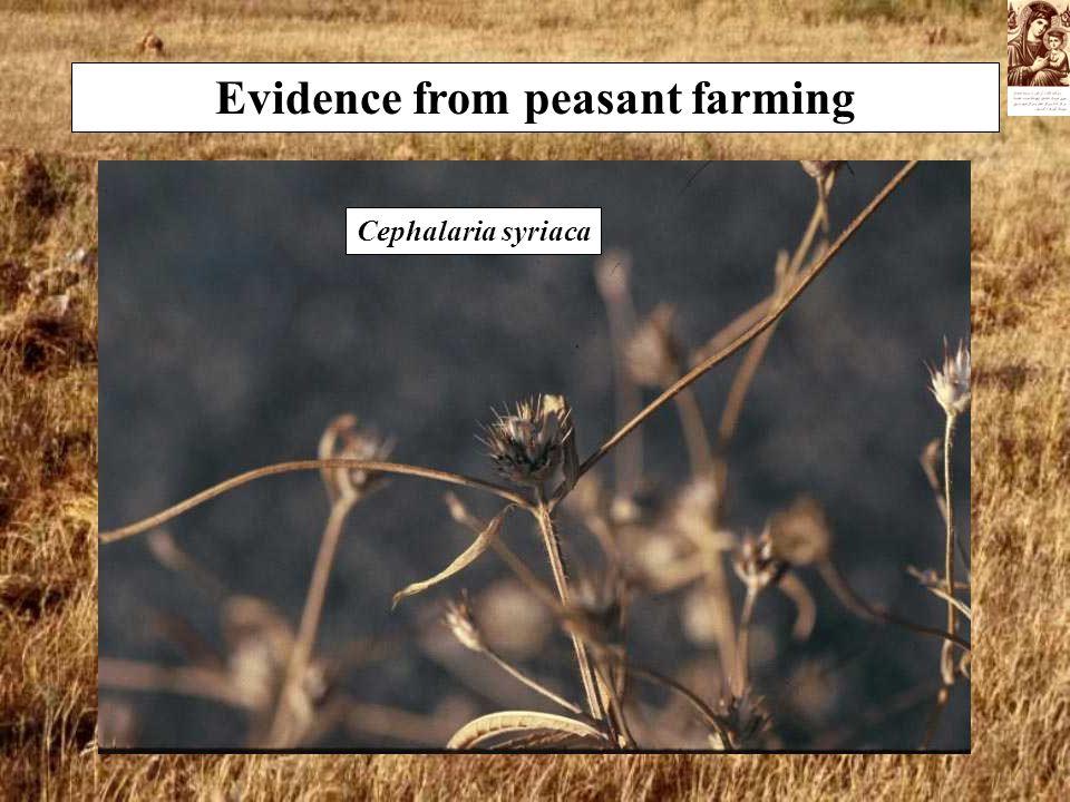 Evidence from peasant farming Cephalaria syriaca