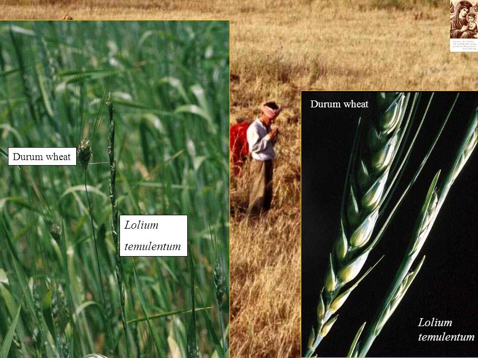 Durum wheat Lolium temulentum Durum wheat Lolium temulentum
