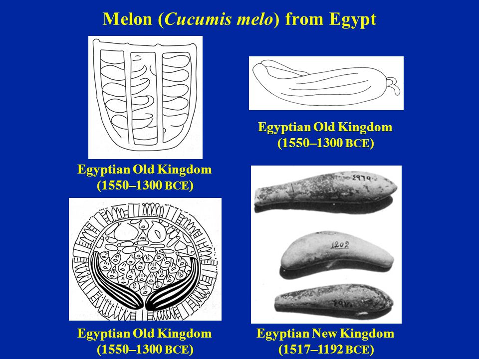 Melon (Cucumis melo) from Egypt Egyptian Old Kingdom (1550–1300 BCE ) Egyptian Old Kingdom (1550–1300 BCE ) Egyptian Old Kingdom (1550–1300 BCE ) Egyp