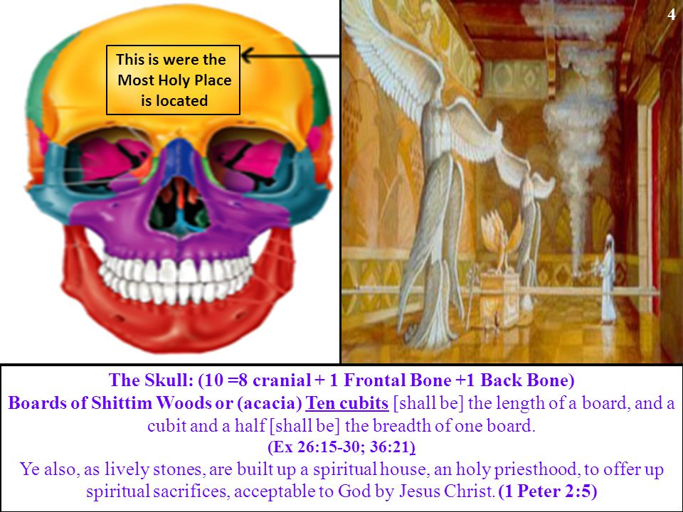 This is were the Most Holy Place is located The Skull: (10 =8 cranial + 1 Frontal Bone +1 Back Bone) Boards of Shittim Woods or (acacia) Ten cubits [shall be] the length of a board, and a cubit and a half [shall be] the breadth of one board.